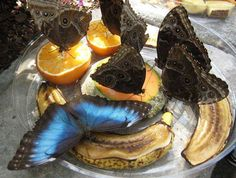 Butterfly populations have been decreasing due to habitat loss and pesticide use. And here's one thing we can do to help:   Place overripe fruit outside in a dish - decaying fruits have carbohydrates and minerals that most butterflies need.  Also plant flowers and shrubs that attract butterflies!