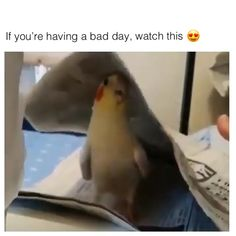 Parrot playing hide and seek - Tiere - Adorable Animals Funny Birds, Cute Birds, Cute Funny Animals, Cute Baby Animals, Funny Cute, Animals And Pets, Nature Animals, Cute Animal Videos, Funny Animal Pictures