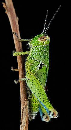 ˚Juvenile Grasshopper