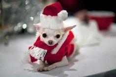 Christmas Chihuahua, so cute