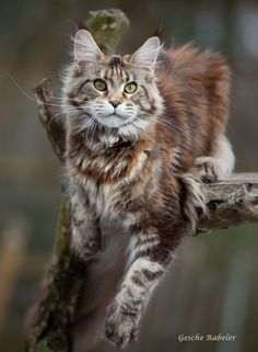 Maine Coon  http://www.mainecoonguide.com/how-to-tell-if-a-kitten-is-a-maine-coon/