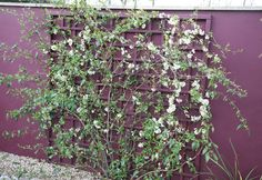 Buy flowering quince Chaenomeles speciosa 'Nivalis': Delivery by Crocus.co.uk