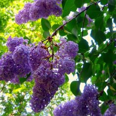 lilacs :) How I miss the smell of these every spring when they are in bloom