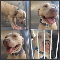 07/11/15- Pit a Boo and The San Bernardino Pups July 5 · DANTE #A483236 (AVAILABLE 6/23) The friendliest Boy ever! I am a male, brown and white Pit Bull Terrier. Shelter staff think I am about 2 years old. I have been at the shelter since Jun 16, 2015. If I am not claimed, after my stray holding period, I may be available for adoption on Jun 23, 2015. For more information about this animal, call: San Bernardino City Animal Control at (909) 384-1304 Ask for information about animal ID numb