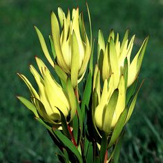 Inca Gold - Protea World Pool Plants, Landscaping Plants, Air Plants, Garden Plants, Protea Plant, Protea Flower, Yellow Tulips, Bright Yellow, Alpine Plants