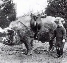 Pig rider, ca. Tame animals of Mr Wingfield Ampthill child beside a saddled pig. Vintage Pictures, Old Pictures, Old Photos, Random Pictures, Vintage Humor, Weird Vintage, Vintage Black, Tame Animals, Funny Animals