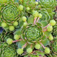 Kindergeri - Sempervivum