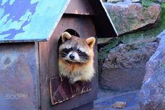 Sweet Raccoon in zoo - Sweet Raccoon in Belgrade zoo