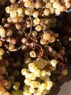 Dried Garganega Grapes for Recioto di Soave Production Italian Wine Veneto Style Monteforte Verona Italy Tessari #tessariwithdots