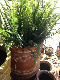 Kimberly fern for centerpieces and bridesmaid bouquets.