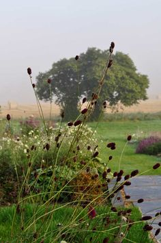 Give height. Great late summer interest and winter seed heads. Claire Austin, Prairie Garden, Burgundy Flowers, Tall Plants, Growing Seeds, Little White, Planting Flowers, Art Projects, Environment