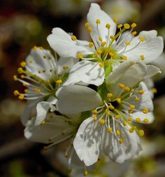 Flowers Pear blossom by Robert,s, via Flickr
