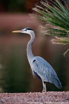 Great Blue Heron Photos