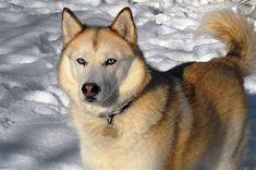 Wonderful All About The Siberian Husky Ideas. Prodigious All About The Siberian Husky Ideas. Alaskan Husky, My Husky, Siberian Husky Puppies, Siberian Huskies, Alaskan Malamute, Husky Puppy, Husky Mix, Siberian Husky Facts, Cutest Animals