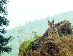Parque de la naturaleza de Cabárceno #Cantabria #Spain Especie Animal, The Pussycat, Owl, Cats, World, Continents, Parks, Animales, Gatos