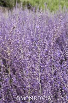 Russian Sage hardy, heat loving, drought tolerant. pest resistant. occasional watering in full sun.  - Monrovia - Russian Sage