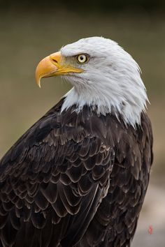 Bald Eagle (Haliaeetus leucocephalus) by Jean-Claude Sch. Bold Eagle, Eagle Hunting, Eagle Pictures, Animal Medicine, Paws And Claws, Bird Drawings, Drawing Birds, Birds Of Prey, Colorful Birds