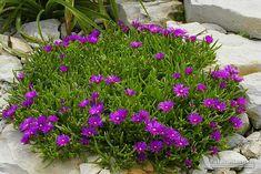 delosperma cooperi rod delosperma delospermy jsou sukulentní rostliny ...