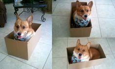 Corgi stuck in a box!