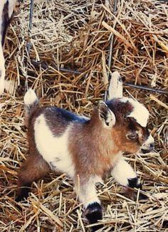 miniature goat OMG so cute! I don't care what brad says I'm buying one a… miniature goat OMG so cute! I don't care what brad says I'm buying one and naming him skippy Baby Animals Super Cute, Cute Little Animals, Cute Funny Animals, Baby Animals Pictures, Cute Animal Pictures, Animals And Pets, Jungle Animals, Baby Farm Animals, Party Animals
