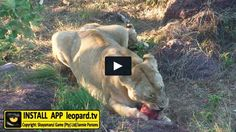 Here is a video filled with beautiful memories of Shakira and her cubs you will never forget. Shakira, Predator, Cubs, Lions, Wildlife, Forget, African, Memories, Animals