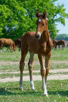 Hanoverian colt