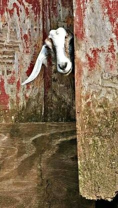 I like this photo of rustic barn doors and goat head. You can almost feel the rough texture of aged wood and paint. Even the goat's fur looks rough in this environment. Barnyard Animals, Cute Animals, Beautiful Creatures, Animals Beautiful, Moslem, Old Barn Doors, All Gods Creatures, Farm Yard, Old Barns
