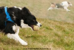 www.martinaburianova.cz Dogs - Flyball training