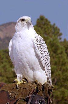New Ideas For White Bird Raptors Birds Of Prey, Raptor Bird Of Prey, All Birds, Pretty Birds, Beautiful Birds, Animals Beautiful, Exotic Birds, Colorful Birds, Fastest Bird
