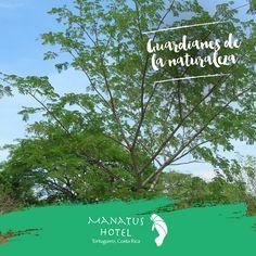 Conocé el grandioso árbol Gavilán y admirá su belleza.  #Ecoturismo #HotelManatus #ParaisoTortuguero
