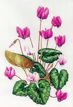 Mary Grierson illustration of Cyclamen Pseudibercum.