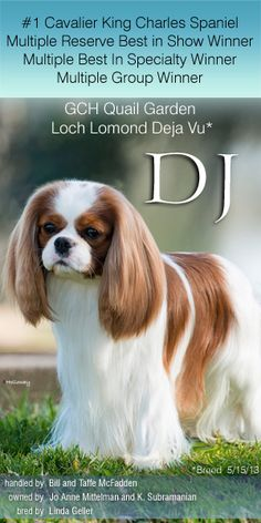Welcome DJ to Best In Show Daily, the number 1 Cavalier King Charles Spaniel.