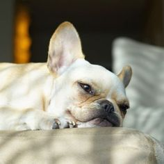 Leo, the Lazy French Bulldog, what a face; ) @frenchieleo on instagram.