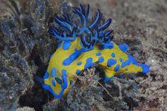 Tambja verconis, common name Verco's nudibranch / Sea Slug