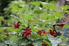 Ribizli és köszméte metszése -márc 2. hete Herbs, Fruit, Vegetables, Outdoor, Gardening, Plant, Outdoors, Lawn And Garden, Herb