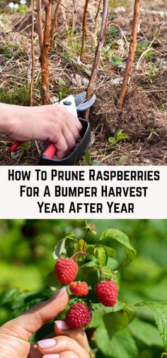 How To Prune Raspberries For A Bumper Harvest Year After Year - - Pruning raspberries every year is essential for harvesting a bumper crop. Here's how and when to prune your canes depending on your raspberry variety. Olive Garden, Veg Garden, Fruit Garden, Edible Garden, Vegetable Gardening, Flower Gardening, Veggie Gardens, Beginner Vegetable Garden, Bush Garden