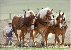 The Amish still use draft horses to pull their farm plows.  If a fella has a beard, he's married; cleanshaven, he's single.  Good to know, huh?