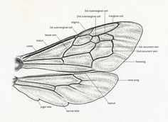 """noelbadgespugh: """" Basic Bee Wing . . for an upcoming book, an intro to bees of…"""