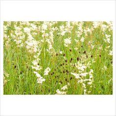 Wild flower meadow with Filipendula ulmaria (Meadowsweet) and Poterium sanguisorba (Salad Burnet)