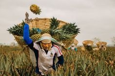 "In the thick humidity of the fertile coastal planes.the pineapple picker begins moving lightheartedly talking and joking with coworkers as his feet and legs push forward.  One can see pineapples flying like balls up and into the ""canasta"".  Yet over time, his breathing becomes heavier,  his steps slower and the joking stops. Perspiration pours and  the basket fills to the point of being over 100 kilos.  The concentration is intense, yet he pitches each pineapple perfectly over and over…"