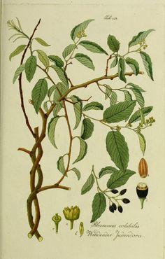 Bd.3 (1800) - Österreichs allgemeine baumzucht, : oder Abbildungen in- und ausländischer Bäume und Sträuche, deren Anpflanzung in Österreich möglich und nützlich ist : - Biodiversity Heritage Library