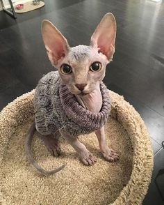 Someone from Alberta is cheating cat lovers by selling them shaved kittens. These shaved kittens were sold in the market as the hairless Sphynx cats. Pretty Cats, Beautiful Cats, Animals Beautiful, Cute Animals, I Love Cats, Crazy Cats, Cute Cats, Sphinx Cat, Gatos Cats