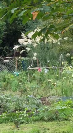 herbe de la pampa sur pinterest plantes ornementales herbe et jardinage. Black Bedroom Furniture Sets. Home Design Ideas