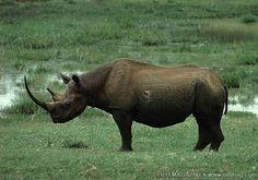 West African Black Rhinoceros. Extinct