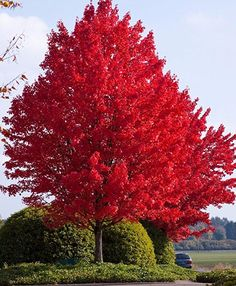 Red Maple Tree has red and orange autumn foliage. Red Maple Trees grow rapidly in a variety of soils. Red Maple Tree reaches a mature height of 60 to 90 feet. Acer Rubrum, Acer Palmatum, Deciduous Trees, Trees And Shrubs, Acer Trees, Trees To Plant, Autumn Blaze Maple, Fast Growing Shade Trees, Trees For Shade