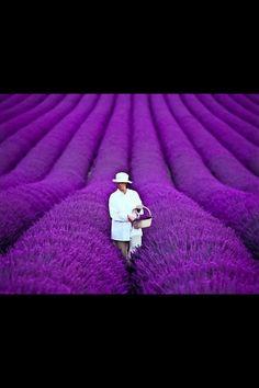 Lavender fields, Provance, France.