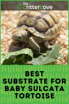 Tortoise Food, Tortoise Habitat, Baby Tortoise, Sulcata Tortoise, Tortoise Care, Tortoise Turtle, Different Types Of Turtles, Tortoise Enclosure, Taking Care Of Baby