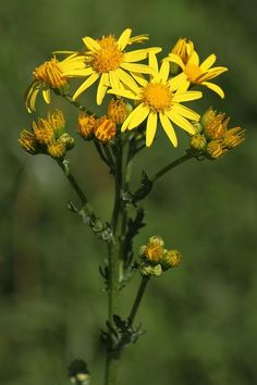 Starček Přímětník (Senecio Jacobaea) Plants, Plant, Planets