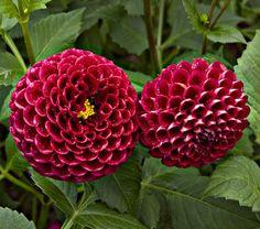 Dahlia Cornel - White Flower Farm  Dahlias are easy to grow & come in many shapes & sizes!