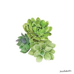 Succulent / belinda xia illustration